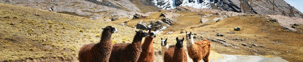llamas in the mountains of Bolivia where IM is serving