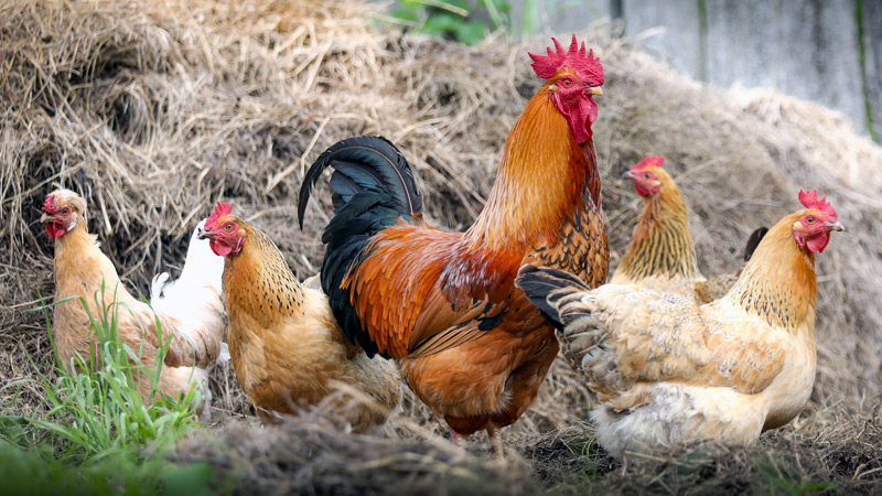 South Africa - Poultry for Protein and Profit